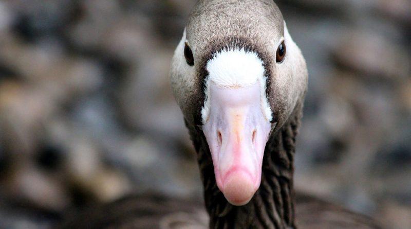 Vogelgrippe bei Wildvogel in Brandenburg bestätigt