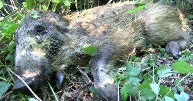 Afrikanische Schweinepest erreicht Neuzelle