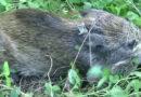 EIL: Afrikanische Schweinepest bei Wildschwein in Märkisch-Oderland nachgewiesen