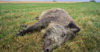 Weiteres Wildschwein mit ASP in Frankfurt (Oder) gefunden