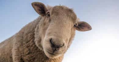 Schafherde auf der Autobahn bei Forst verirrt – sechs Tiere erschossen